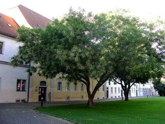 Residenzschloss Mergentheim, Arboretum im Schlossgarten, Japanischer Schnurrbaum
