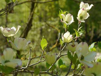 Residenzschloss Mergentheim, Arboretum im Schlossgarten, Amerikanischer Blumenhartriegel