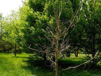 Residenzschloss Mergentheim, Arboretum im Schlossgarten, Geweihbaum